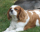 Cavalier King Charles Spaniel kpein yatkn olduu hastalklar nelerdir?