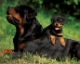 Rottweiler yavrusu nasl seilir?